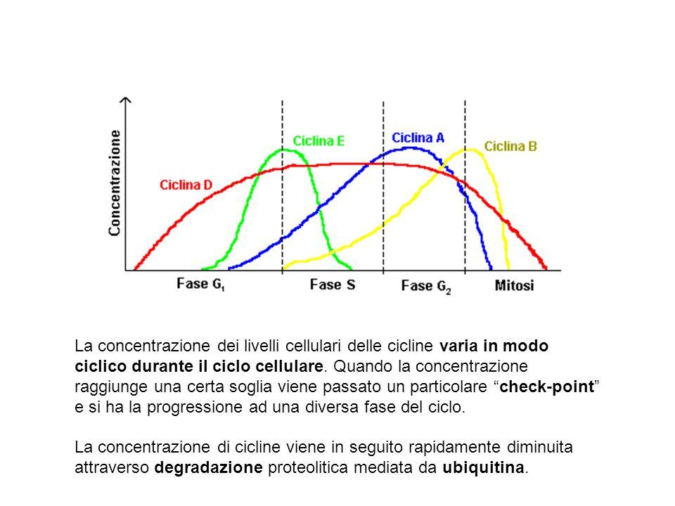 La concentrazione dei livelli cellulari delle cicline varia in modo ciclico durante il ciclo cellulare. Quando la concentrazione raggiunge una certa s