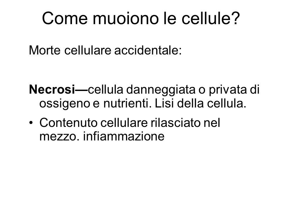 Come muoiono le cellule? Morte cellulare accidentale: Necrosicellula danneggiata o privata di ossigeno e nutrienti. Lisi della cellula. Contenuto cell