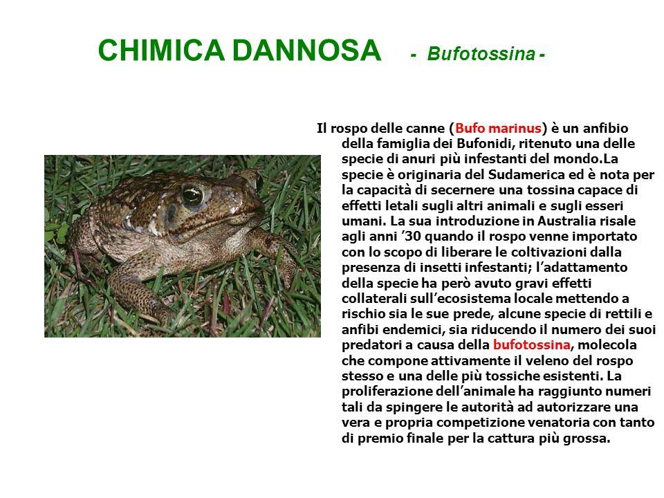 CHIMICA DANNOSA - Bufotossina - Il rospo delle canne (Bufo marinus) è un anfibio della famiglia dei Bufonidi, ritenuto una delle specie di anuri più i