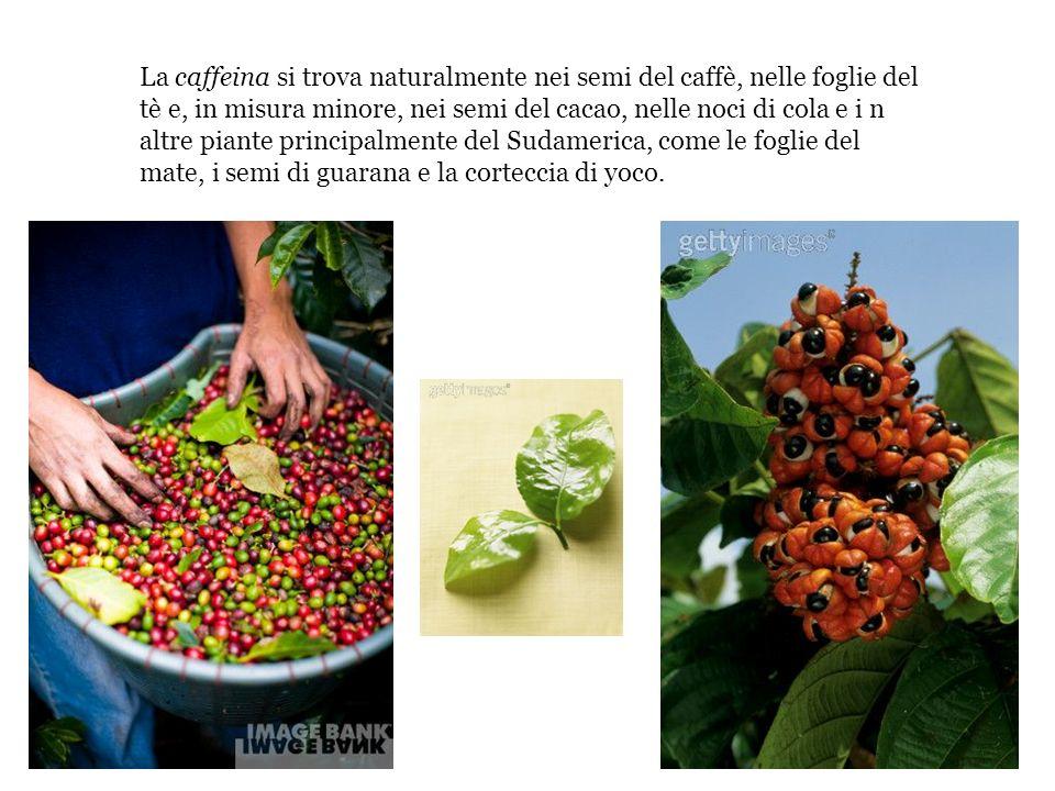 La caffeina si trova naturalmente nei semi del caffè, nelle foglie del tè e, in misura minore, nei semi del cacao, nelle noci di cola e i n altre pian