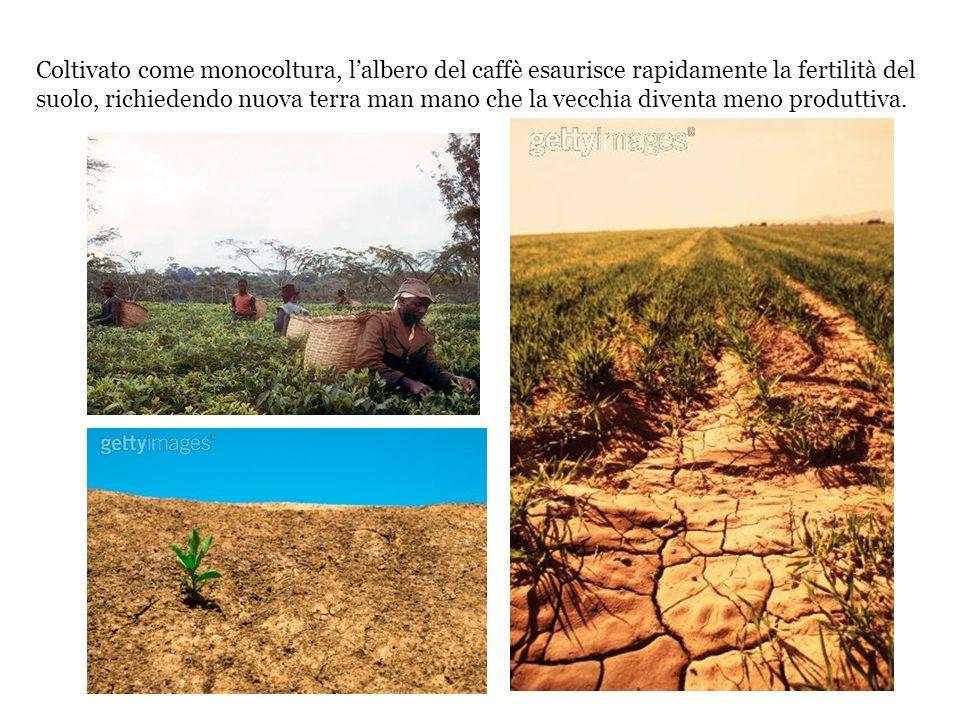 Coltivato come monocoltura, lalbero del caffè esaurisce rapidamente la fertilità del suolo, richiedendo nuova terra man mano che la vecchia diventa me