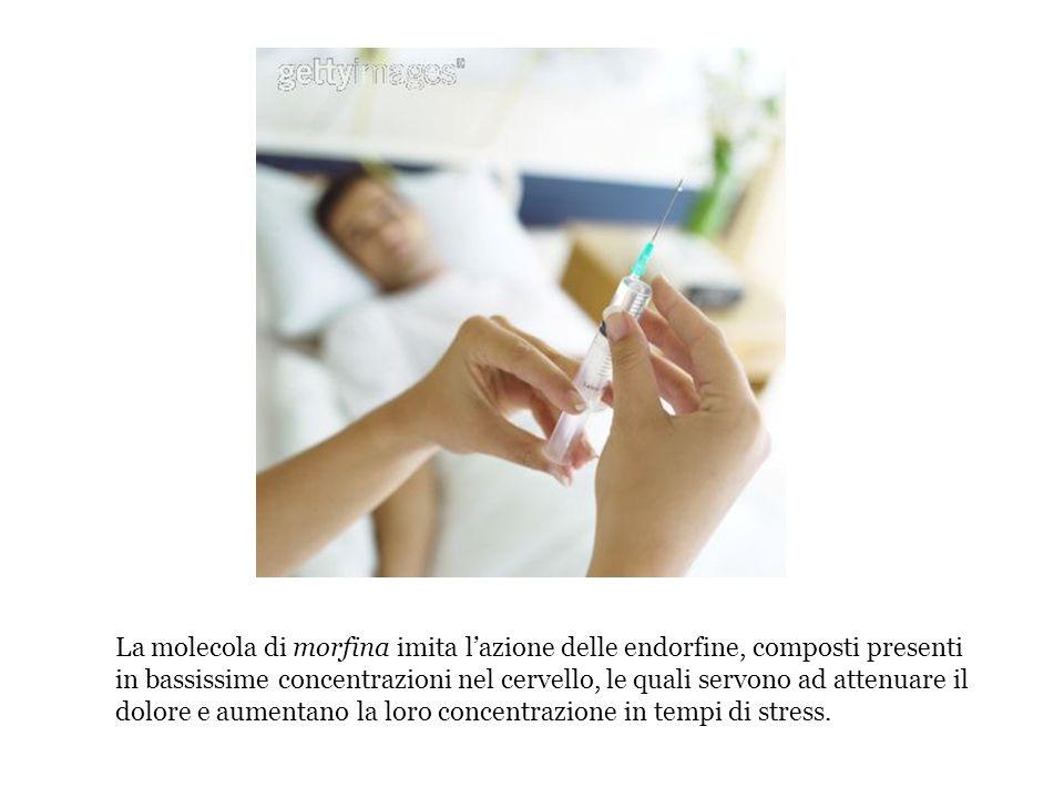 La molecola di morfina imita lazione delle endorfine, composti presenti in bassissime concentrazioni nel cervello, le quali servono ad attenuare il do
