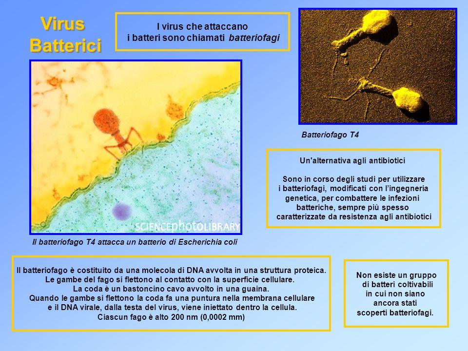 I virus che attaccano i batteri sono chiamati batteriofagi Virus Batterici Virus Batterici Batteriofago T4 Un alternativa agli antibiotici Sono in corso degli studi per utilizzare i batteriofagi, modificati con lingegneria genetica, per combattere le infezioni batteriche, sempre più spesso caratterizzate da resistenza agli antibiotici Il batteriofago T4 attacca un batterio di Escherichia coli Il batteriofago è costituito da una molecola di DNA avvolta in una struttura proteica.