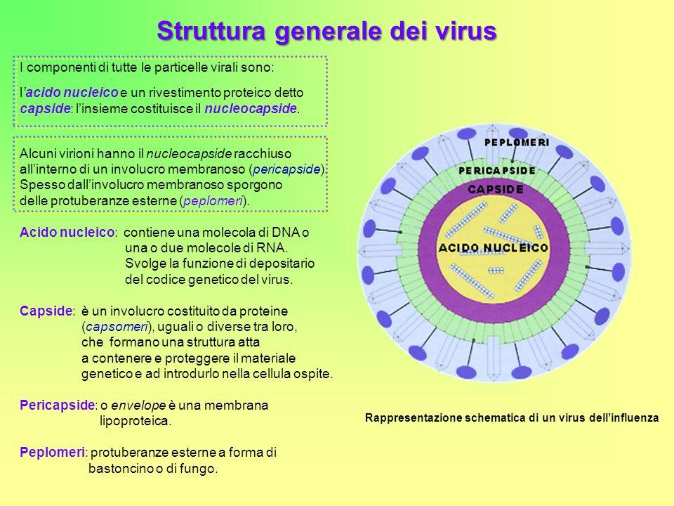 Struttura generale dei virus I componenti di tutte le particelle virali sono: lacido nucleico e un rivestimento proteico detto capside: linsieme costituisce il nucleocapside.