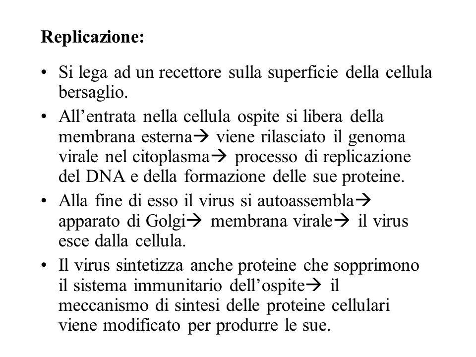 Variola major Struttura: Appartiene alla famiglia dei Poxviridae. Misura 260 per 150 nanometri. Possiede due membrane. Ha una molecola di DNA a doppio