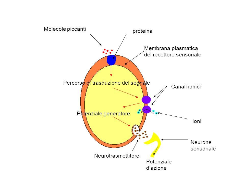 Molecole piccanti Membrana plasmatica del recettore sensoriale proteina Percorso di trasduzione del segnale Canali ionici Ioni Neurone sensoriale Neur