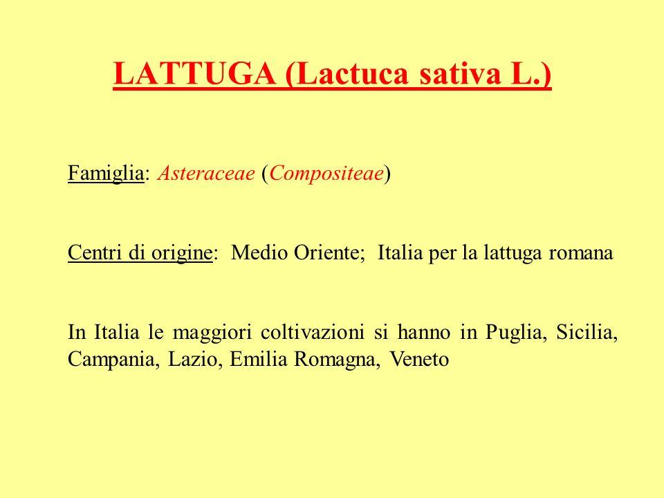 LATTUGA (Lactuca sativa L.) Famiglia: Asteraceae (Compositeae) Centri di origine: Medio Oriente; Italia per la lattuga romana In Italia le maggiori coltivazioni si hanno in Puglia, Sicilia, Campania, Lazio, Emilia Romagna, Veneto