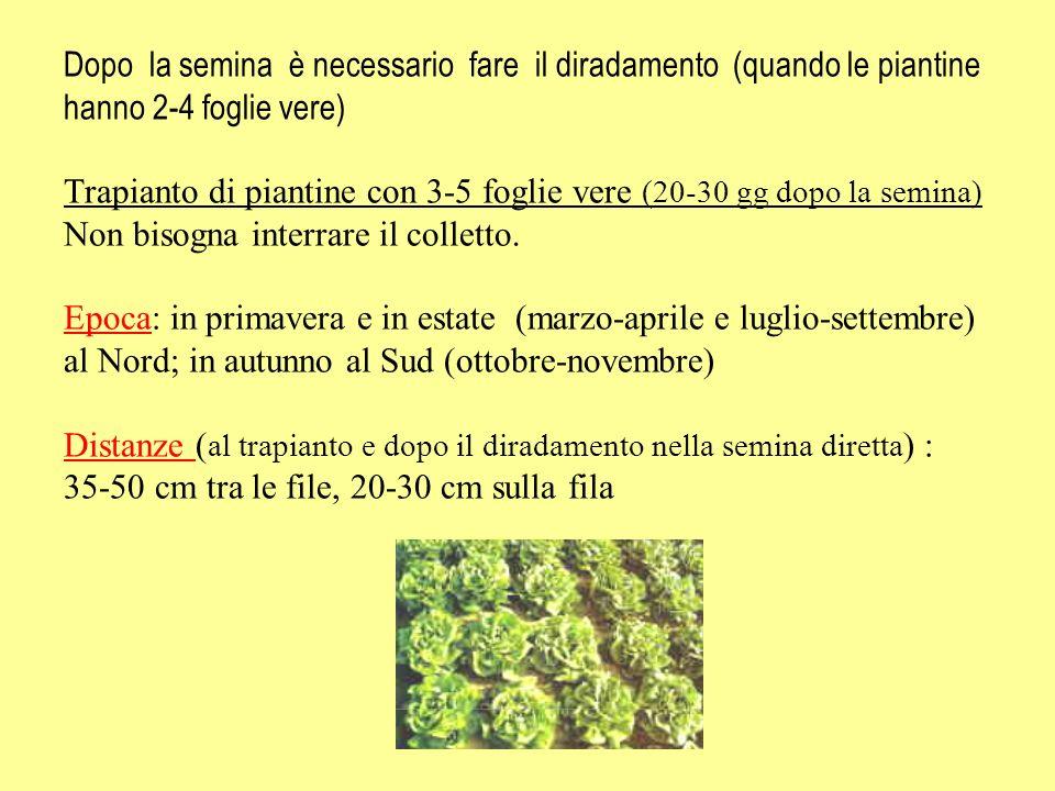 Dopo la semina è necessario fare il diradamento (quando le piantine hanno 2-4 foglie vere) Trapianto di piantine con 3-5 foglie vere (20-30 gg dopo la