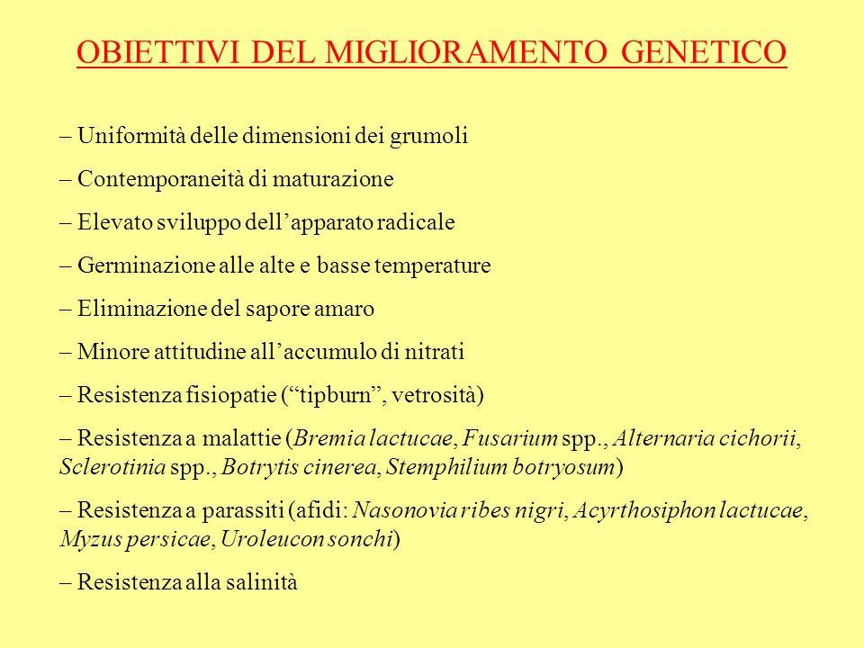 OBIETTIVI DEL MIGLIORAMENTO GENETICO – Uniformità delle dimensioni dei grumoli – Contemporaneità di maturazione – Elevato sviluppo dellapparato radica