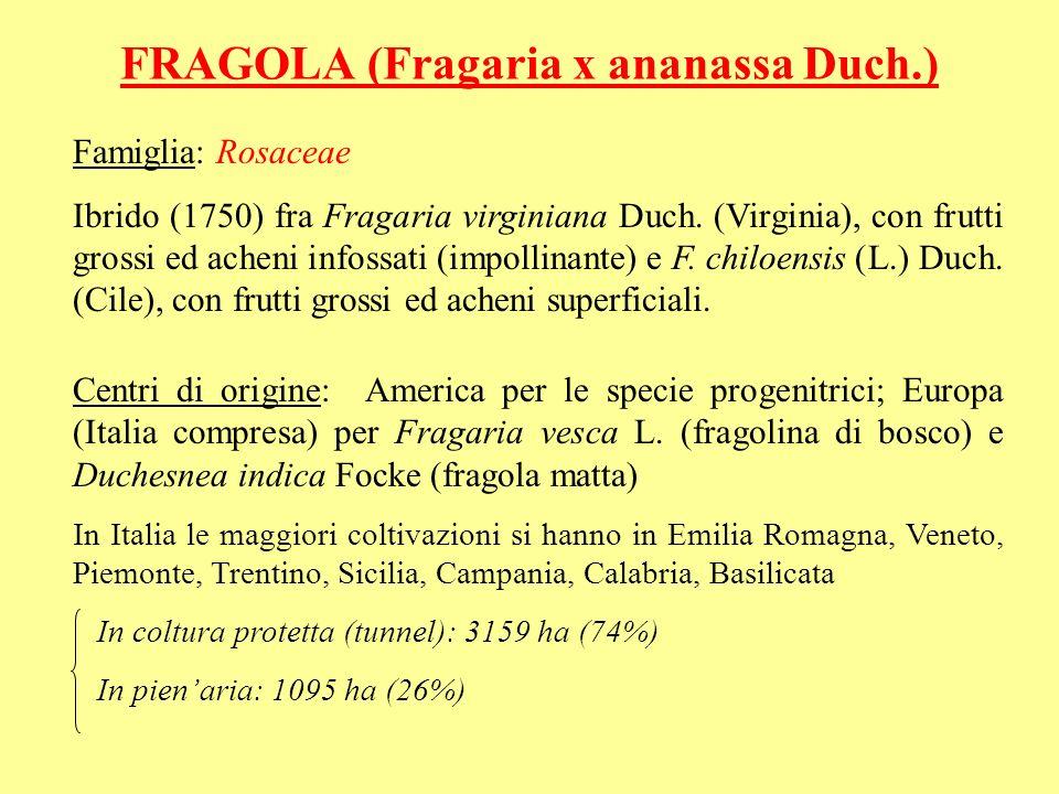FRAGOLA (Fragaria x ananassa Duch.) Famiglia: Rosaceae Ibrido (1750) fra Fragaria virginiana Duch. (Virginia), con frutti grossi ed acheni infossati (