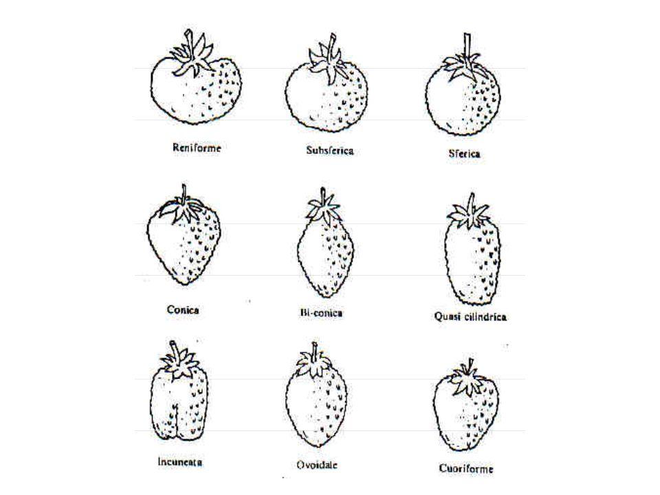 COMPOSIZIONE DELLA PARTE EDULE Acqua 90 % Carboidrati 6,9 % (2,3% fruttosio, 2,2% glucosio, 1% saccarosio) Proteine 0,8 % Grassi 0,5 % Fibra 1,4 % Ca (mg/100g) 27 P (mg/100g) 27 Fe (mg/100g) 0,8 Vit.
