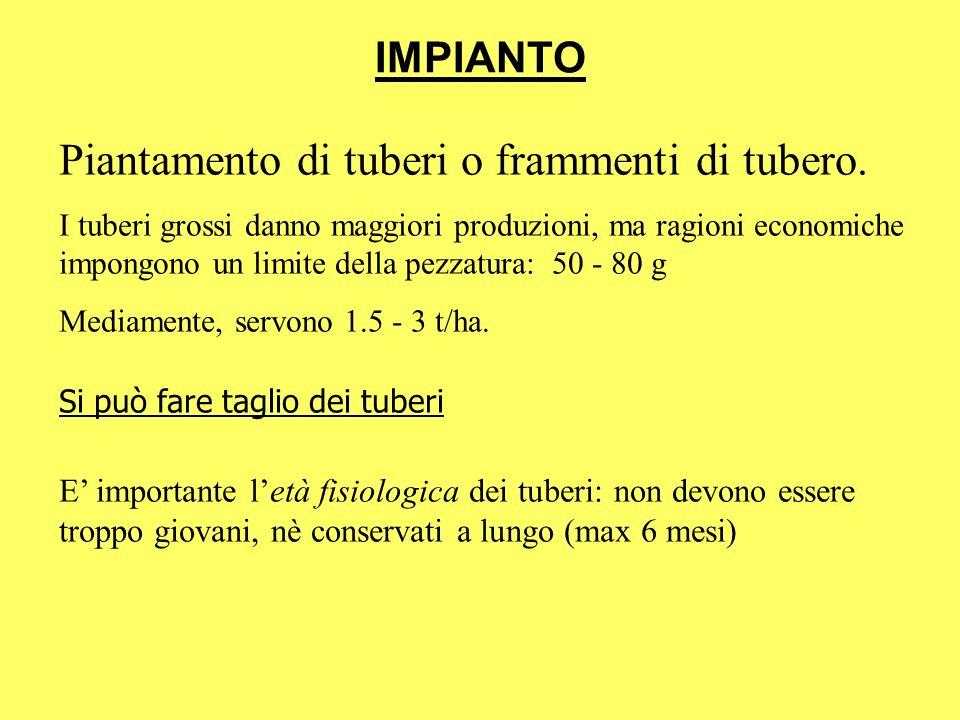 IMPIANTO Piantamento di tuberi o frammenti di tubero. I tuberi grossi danno maggiori produzioni, ma ragioni economiche impongono un limite della pezza