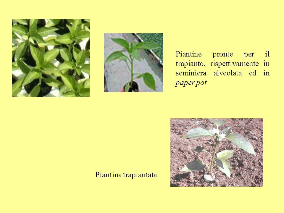 Piantine pronte per il trapianto, rispettivamente in seminiera alveolata ed in paper pot Piantina trapiantata