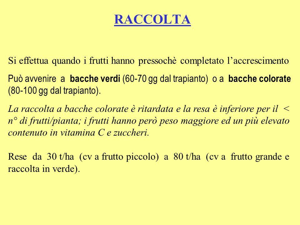 RACCOLTA Si effettua quando i frutti hanno pressochè completato laccrescimento Può avvenire a bacche verdi (60-70 gg dal trapianto) o a bacche colorate (80-100 gg dal trapianto).