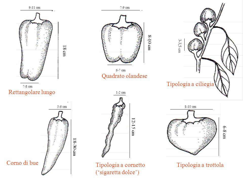 9-11 cm 18 cm 7-8 cm Rettangolare lungo 7-9 cm 8-10 cm 6-7 cm Quadrato olandese 3-3,5 cm Tipologia a ciliegia 5-6 cm 18-30 cm Corno di bue 1-2 cm 12-1