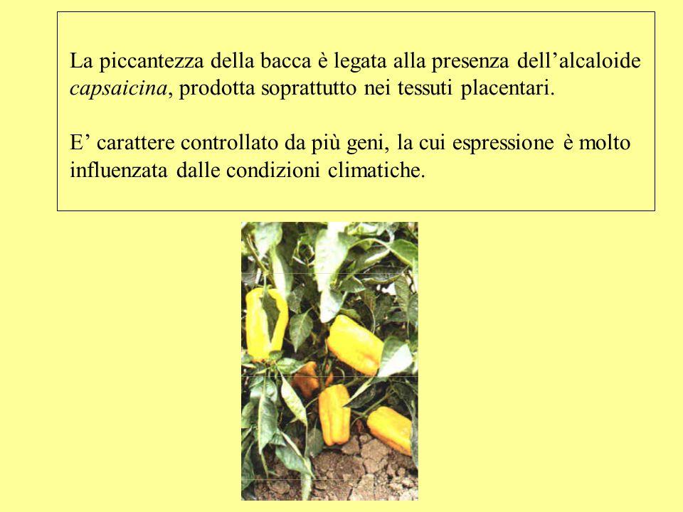 La piccantezza della bacca è legata alla presenza dellalcaloide capsaicina, prodotta soprattutto nei tessuti placentari. E carattere controllato da pi