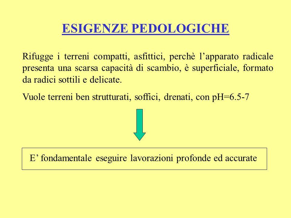 ESIGENZE NUTRITIVE Asportazioni per la produzione di 10 t di bacche: In serra: 53 kg N; 10 kg P 2 O 5 ; 67 kg K 2 O; 48 kg CaO; 6 kg MgO Rapporto N : P : K : Ca : Mg= 1: 0.2 : 1.3 : 0.9 : 0.1 In pienaria: 26 kg N; 7 kg P 2 O 5 ; 34 kg K 2 O; 21 kg CaO; 5 kg MgO Rapporto N : P : K : Ca : Mg= 1: 0.3 : 1.3 : 0.8 : 0.2 Specie potassofila, con elevate esigenze di N e Ca