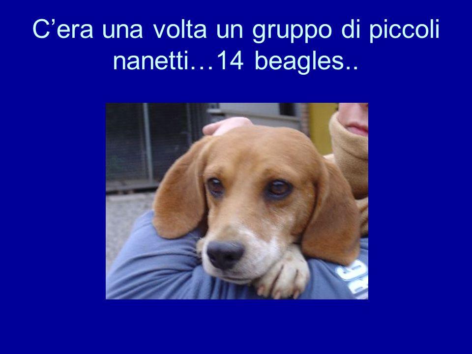 Cera una volta un gruppo di piccoli nanetti…14 beagles..