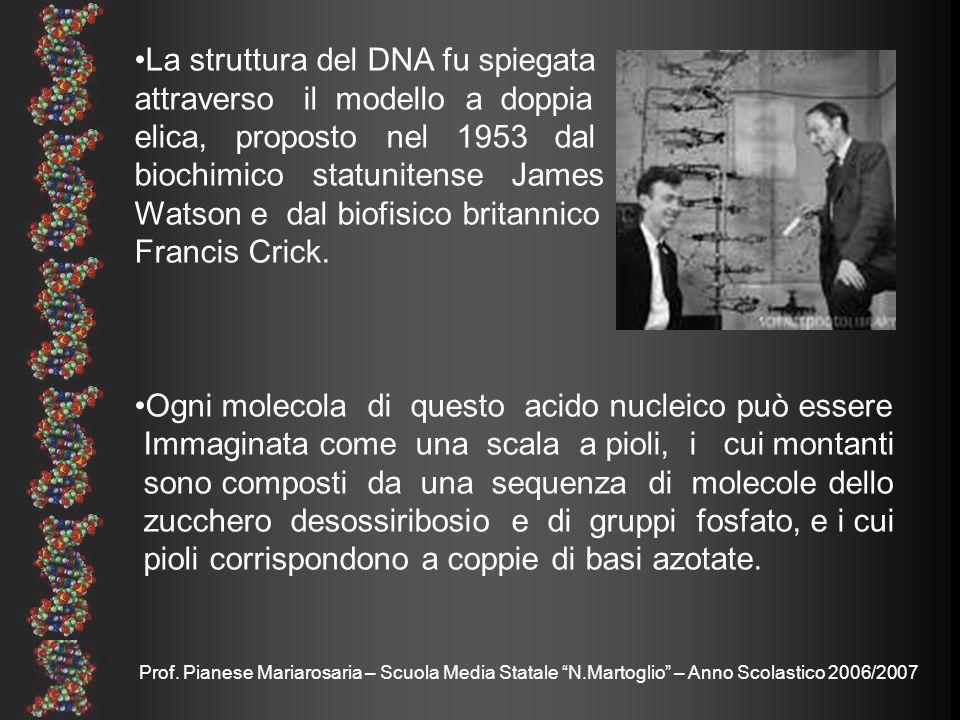 Prof. Pianese Mariarosaria – Scuola Media Statale N.Martoglio – Anno Scolastico 2006/2007 La struttura del DNA fu spiegata attraverso il modello a dop