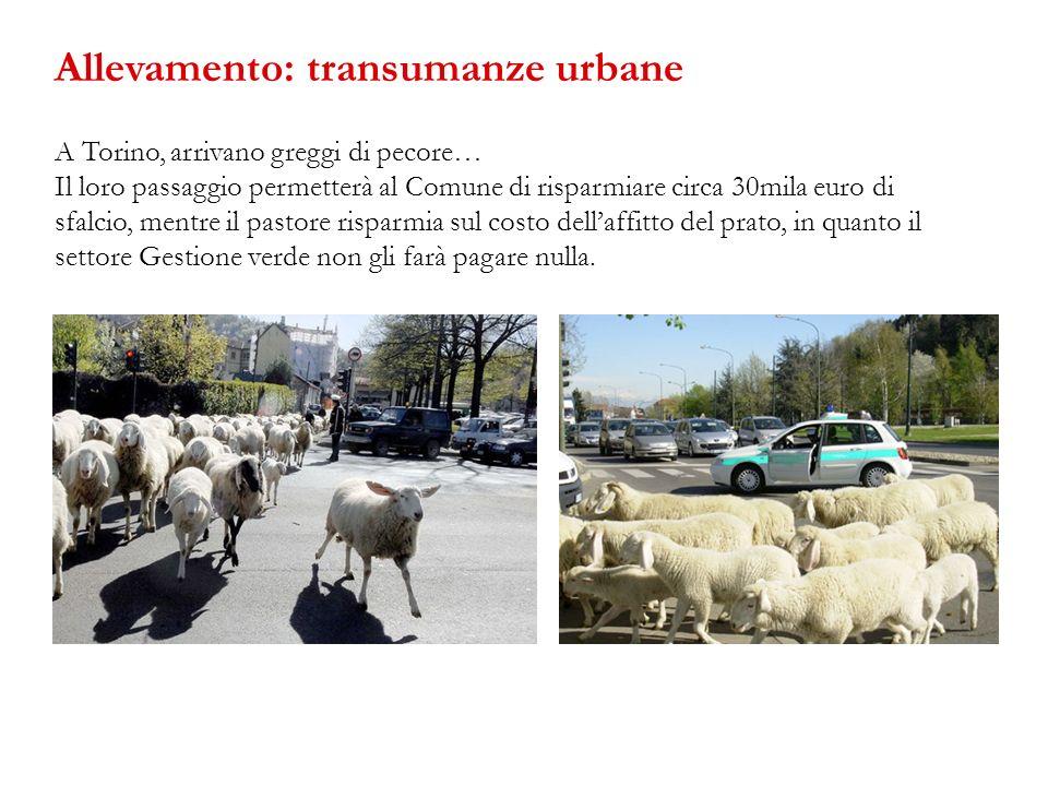 A Torino, arrivano greggi di pecore… Il loro passaggio permetterà al Comune di risparmiare circa 30mila euro di sfalcio, mentre il pastore risparmia s