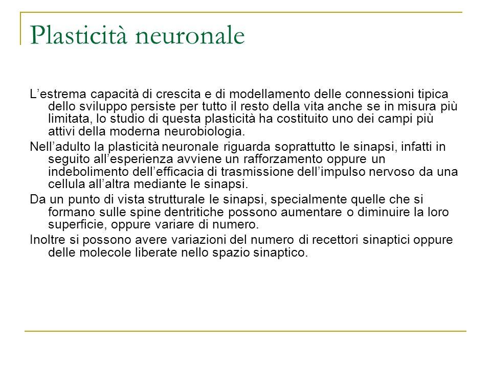 Plasticità neuronale Lestrema capacità di crescita e di modellamento delle connessioni tipica dello sviluppo persiste per tutto il resto della vita an