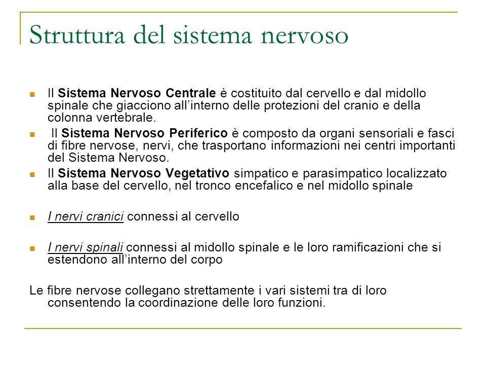 Struttura del sistema nervoso Il Sistema Nervoso Centrale è costituito dal cervello e dal midollo spinale che giacciono allinterno delle protezioni de