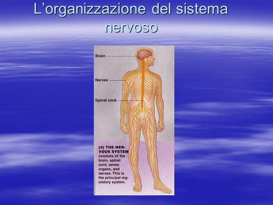 Lorganizzazione del sistema nervoso