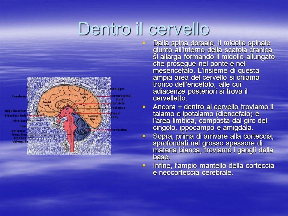 Dentro il cervello Dalla spina dorsale, il midollo spinale giunto allinterno della scatola cranica, si allarga formando il midollo allungato che prose