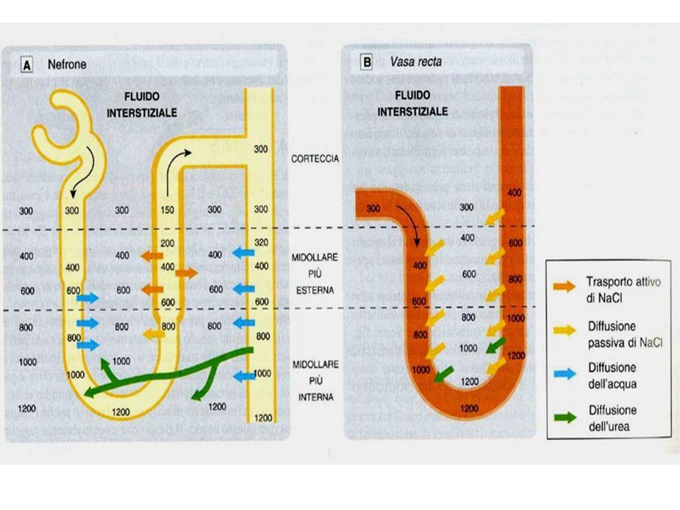 EFFETTI RENALI escrezione urinaria Na + e Cl - (max 5% del filtrato) escrezione urinaria K + e H + Riduzione eliminazione Ca 2+ (per uso cronico) Riduzione eliminazione acido urico (per uso cronico) Alcuni sono deboli inibitori dellanidrasi carbonica