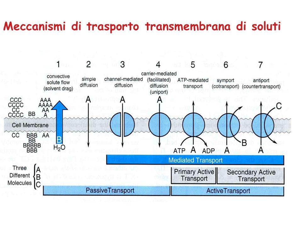 RUOLO DELLANIDRASI CARBONICA Effetto netto: Riassorbimento di NaHCO 3 ed H 2 O