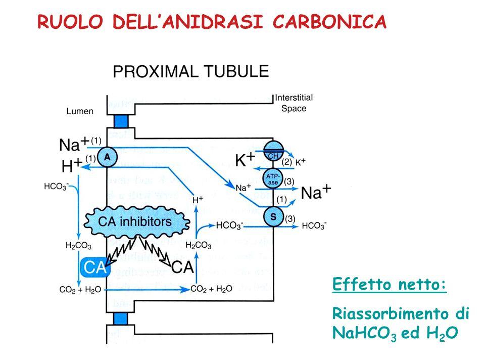 INIBITORI DELLANIDRASI CARBONICA ACETAZOLAMIDE: derivato della sulfanilamide Potente inibitore dellanidrasi carbonica sia di membrana che citosolica Effetto sia sul tubulo prossimale che sul dotto collettore EFFETTI RENALI Aumento delleliminazione di HCO 3 - (max 35%) Inibizione della secrezione di H + e NH 4 + (dotto collettore) Aumento delleliminazione di Na + (max 5%) alcalinizzazione urine acidosi metabolica (autolimita leffetto diuretico)