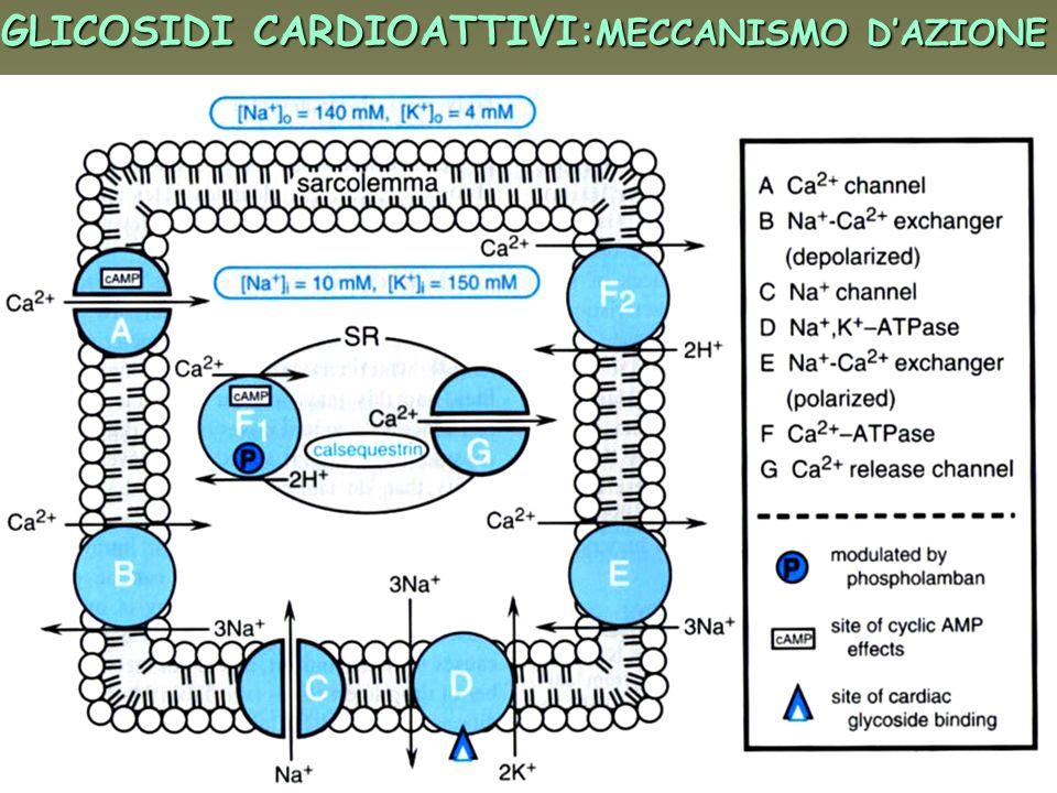 DIURETICI RISPARMIATORI DI K + AMILORIDE, TRIAMTERENE Inibitori dei canali al Na + nel tubulo contorto distale e dotto collettore inibizione riassorbimento di Na + inibizione escrezione di K + Modesto effetto diuretico ANTAGONISTI DELLALDOSTERONE (spironolattone, canrenone) inibizione riassorbimento di Na + inibizione escrezione di K +