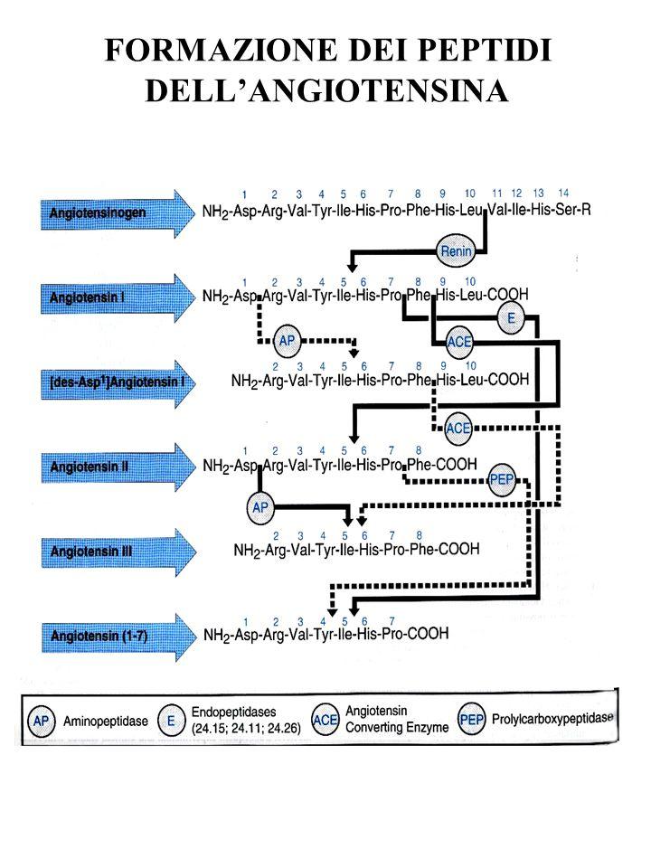 ANGIOTENSINOGENO Glicoproteina di 55-60 kDa Sintetizzata prevalentemente dal fegato Rilascio costitutivo Sintesi aumentata da: infiammazione, insulina, estrogeni, angiotensina II C p = K m per renina variazioni sintesi angiotensinogeno influenzano la produzione di angiotensina II aumenti dellangiotensinogeno (anche su base genetica) sono associati ad ipertensione