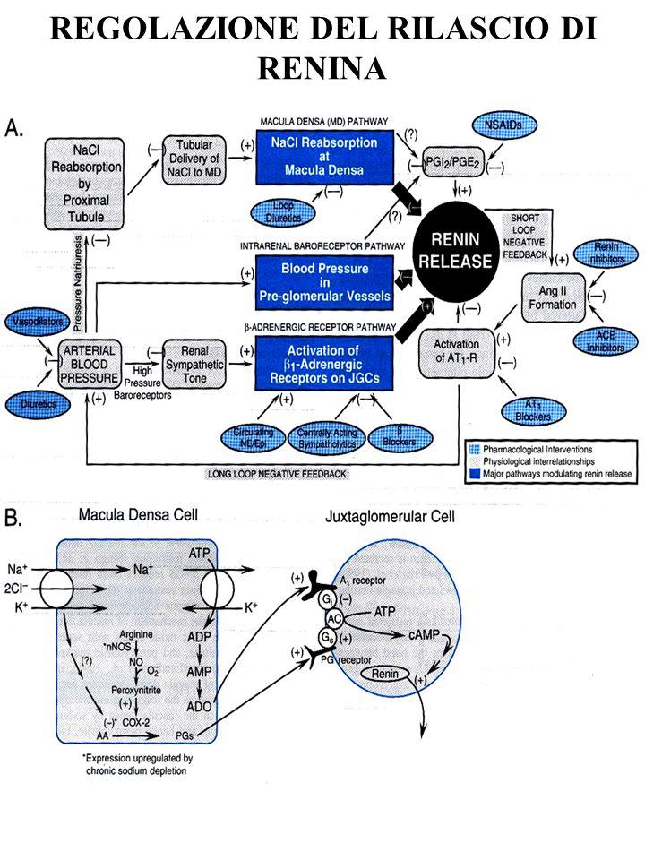 SISTEMA RENINA-ANGIOTENSINA Sistemico (endocrino) Locale estrinseco Uptake di renina circolante da parte delle cellule endoteliali e conversione locale ad AT II Locale intrinseco Cervello, ipofisi, vasi, cuore, rene, surrene (conversione AT I ad AT II anche ad opera di chimasi) (azione trofica?)