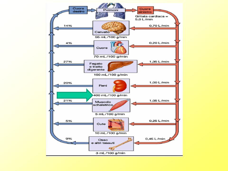 Larteria renale riceve circa 1/5della gettata sistolica Il 95% irrora la corticale, il 5% la midollare IPERTENSIONE DANNO CORTICALE IPOTENSIONE DANNO MIDOLLARE Considereremo: Principi fisiologia renale Determinanti della normale pressione e ruolo del rene Ipertensione e rene Patologia dellipertensione Patogenesi dellpertensione essenziale Patogenesi dellipertensione secondaria Target fisiologici nella gestione dell ipertensione Danno miocardico Danno vascolare