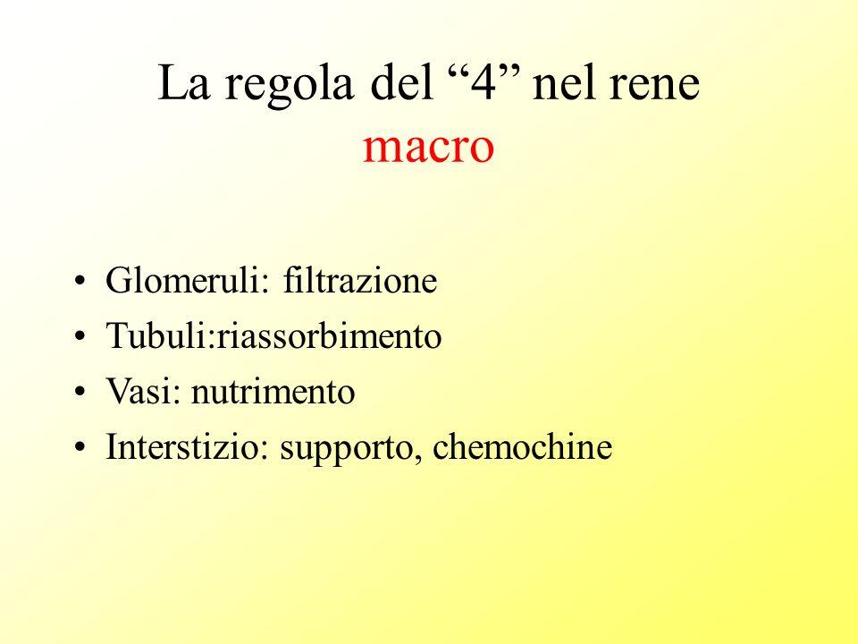 La regola del 4 nel glomerulo micro 1 2 3 4