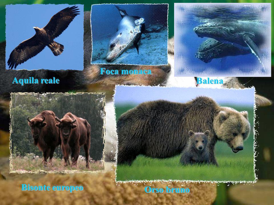 Aquila reale Balena Bisonte europeo Foca monaca Orso bruno