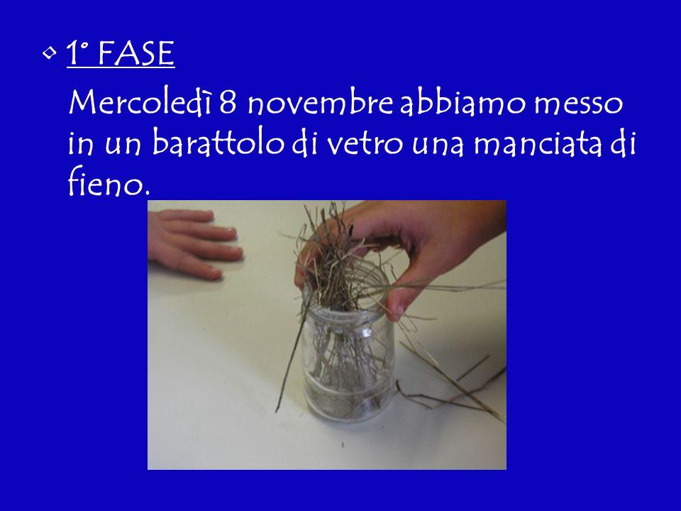 1° FASE Mercoledì 8 novembre abbiamo messo in un barattolo di vetro una manciata di fieno.
