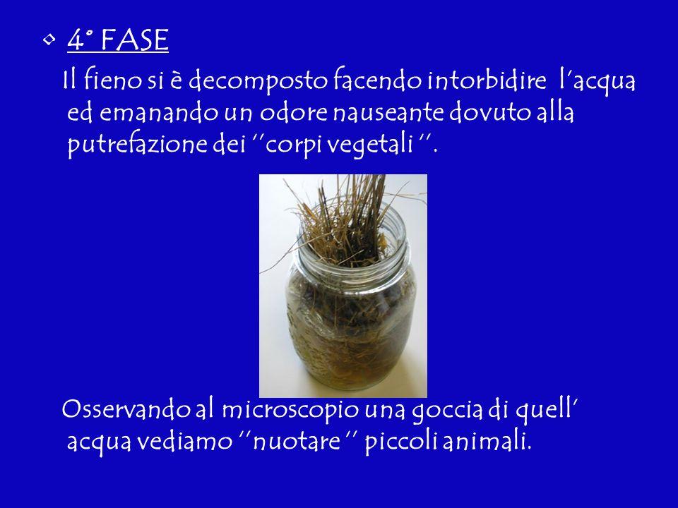 4° FASE Il fieno si è decomposto facendo intorbidire lacqua ed emanando un odore nauseante dovuto alla putrefazione dei corpi vegetali. Osservando al