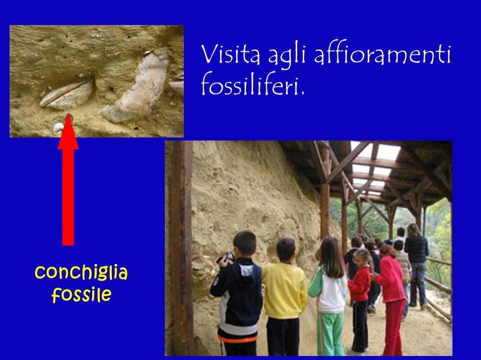 Visita agli affioramenti fossiliferi. conchiglia fossile