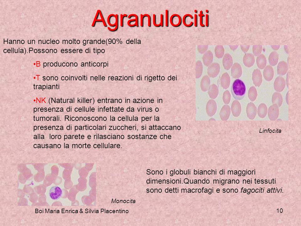 Boi Maria Enrica & Silvia Placentino 10 Agranulociti Hanno un nucleo molto grande(90% della cellula).Possono essere di tipo B producono anticorpi T so
