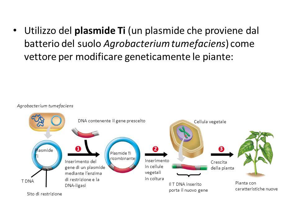 DNA contenente il gene prescelto Plasmide Ti 1 Inserimento del gene di un plasmide mediante lenzima di restrizione e la DNA-ligasi Plasmide Ti ricombi
