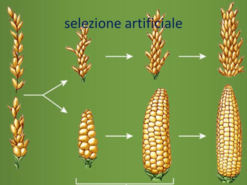 Piante OGM Principali specie di piante geneticamente modificate: Mais bt, resistente al lepidottero Ostrinia nubilalis.