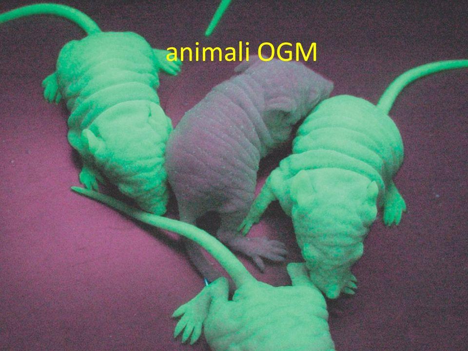animali OGM