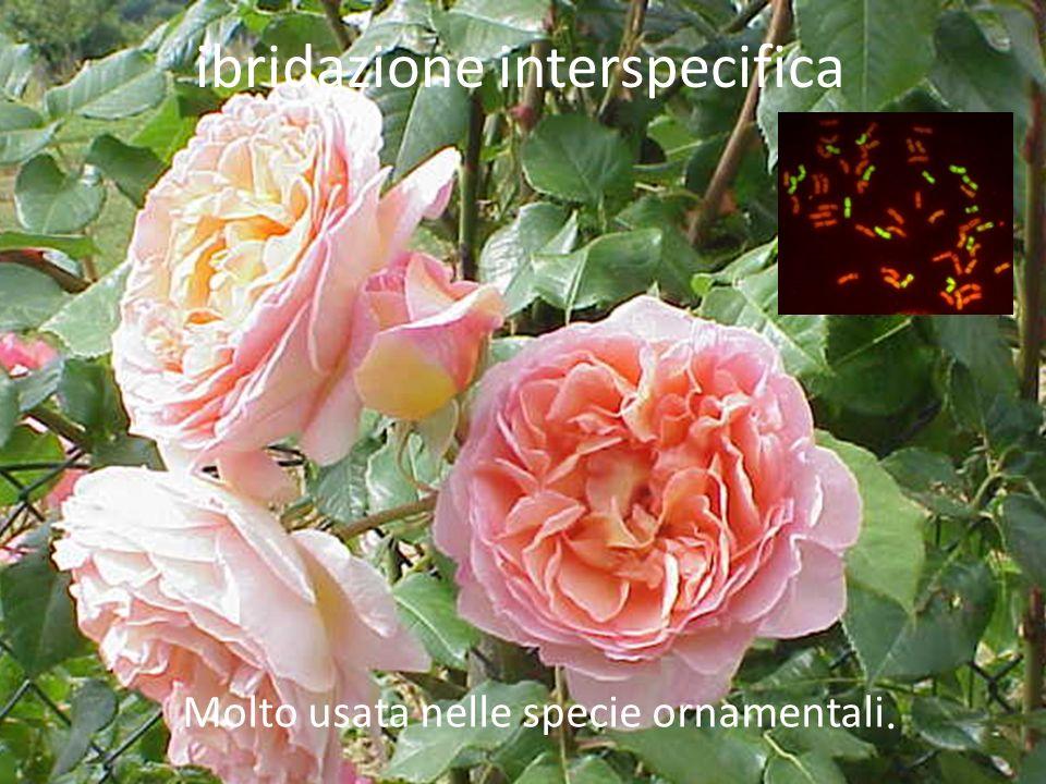 Molto usata nelle specie ornamentali. ibridazione interspecifica