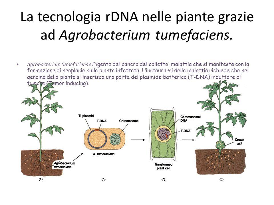 La tecnologia rDNA nelle piante grazie ad Agrobacterium tumefaciens. Agrobacterium tumefaciens è la gente del cancro del colletto, malattia che si man