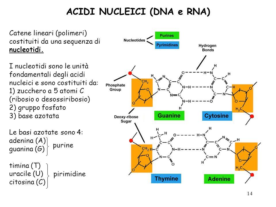 14 ACIDI NUCLEICI (DNA e RNA) Catene lineari (polimeri) costituiti da una sequenza di nucleotidi. I nucleotidi sono le unità fondamentali degli acidi