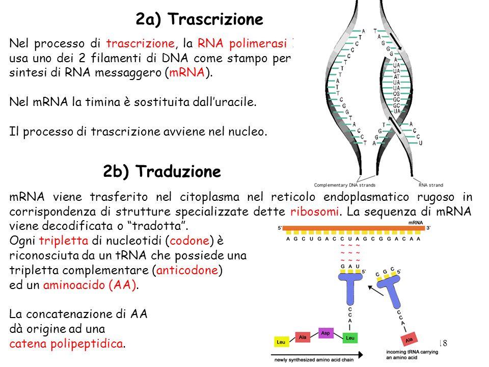 18 Nel processo di trascrizione, la RNA polimerasi II usa uno dei 2 filamenti di DNA come stampo per la sintesi di RNA messaggero (mRNA). Nel mRNA la