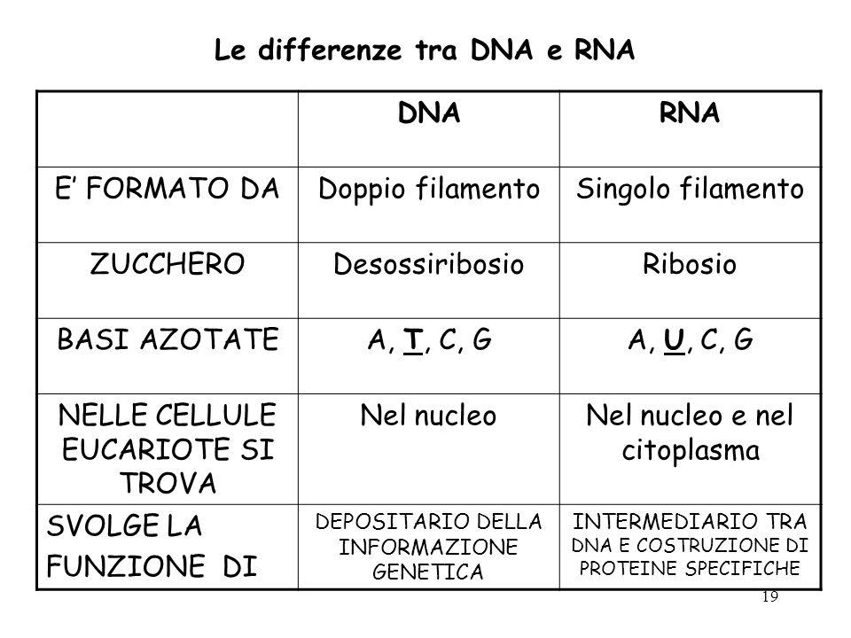 19 Le differenze tra DNA e RNA DNARNA E FORMATO DADoppio filamentoSingolo filamento ZUCCHERODesossiribosioRibosio BASI AZOTATEA, T, C, GA, U, C, G NEL