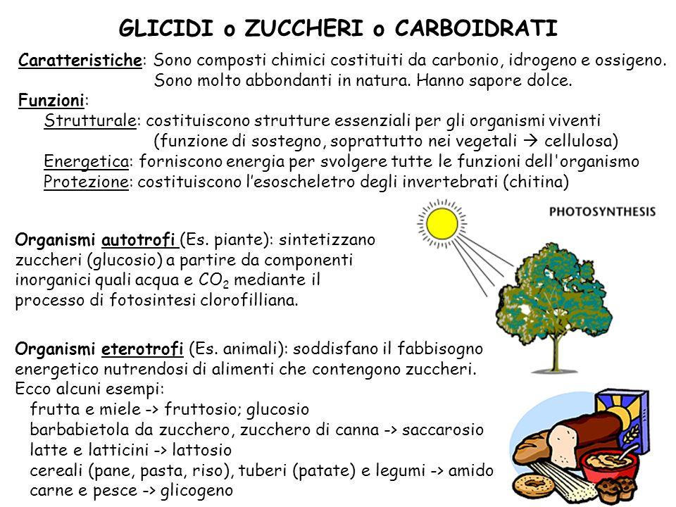 5 Disaccaridi (formati da 2 molecole di zucchero) Glucosio + fruttosio Saccarosio (comune zucchero da cucina) Glucosio + glucosio Maltosio (deriva da digestione dellamido) Glucosio + galattosio Lattosio (in latte e latticini) Polisaccaridi (formati da più di 20 molecole di glucosio) Amido riserva energetica nei vegetali (cereali, tuberi, legumi) si accumula in amiloplasti nella cellula vegetale si trova nei semi e nelle radici Glicogeno riserva energetica negli animali si accumula in muscoli e fegato Cellulosa funzione di sostegno nei vegetali si trova nella parete cellulare delle cellule vegetali può essere digerita solo dagli erbivori è il composto organico più abbondante sulla Terra I diversi tipi di glicidi Monosaccaridi (formati da 1 molecola di zucchero) 5C Ribosio Desossiribosio Componenti degli acidi nucleici Glucosio principale fonte di energia Fruttosio si trova nella frutta Galattosio 6C